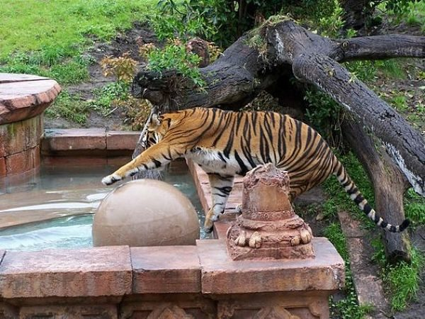 tiger at a fountain animal kingdom wdw florida